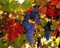 Vinova loza, najbolja ponuda - sadnica