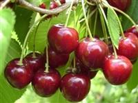 Sve vrste vocnih sadnica sadnice Aronija