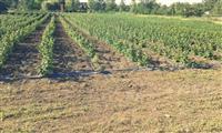 Kvalitetne sadnice maline Polana