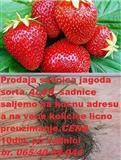 Sadnice jagoda ALBA