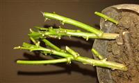 Chilli Orezane sadnice