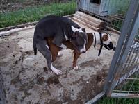 Pit bull terijer štenci
