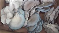 Micelijum bukovače i šiitake