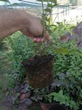 Sadnice borovnice Duke, prolecna sadnja