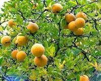 Dvogodisnje sadnice SIBIRSKOG divljeg limuna