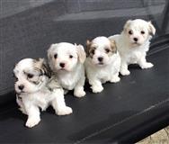 Ponosno štene kavachona dostupno za usvajanje