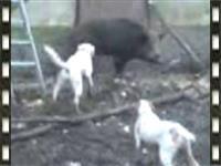 Ruski pegavi gonic za divlju svinju