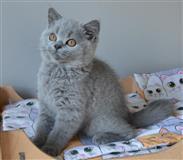Plava britanska kratkodlaka mačića