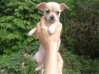 Chihuahua psi i štenci za prodaju