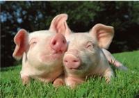 Prasad i tovne svinje