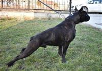 Nemacki bokser, odrasli psi