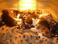 Lijepa Beagle Pups Dostupno