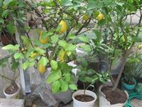 Stabla limunova