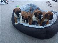 Prekrasni štenci boksači