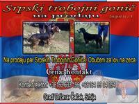 Srpski Trobojni Gonič