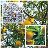 Sadnice sibirskog limuna