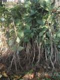 Sadnice lešnika