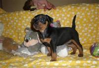 Pinceri štenci - rasprodaja legla