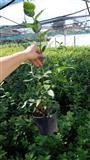 Sadnice borovnice Duke, starosti 2 god.  30-50cm,