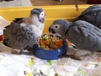 bebi papaga i jaja