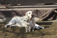 Labrador retriver stenad
