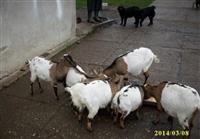 Tajvanske patuljaste koze