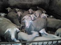 Menjam Vinterberg ovce za krave