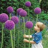 Ukrasni luk- Allium giganteum