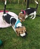 Beagle štenci dostupni za prodaju