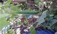Krastavac-dugi zeleni salatar