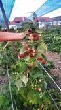Sadnice maline Polka - sertifikovane sadnice