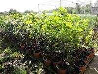 Aronija - trogodisnje sadnice u saksijama