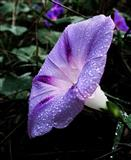 Ladolez ljubicasti-seme