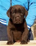 Labrador, čokoladni štenci