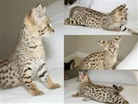 TICA registrirani Savannah mačići na raspolaganju