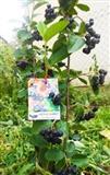 Sertifikovane sadnice aronije i ostalog voca