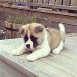 Iznenađujuće štene akita dostupne za prodaju