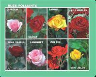 Sadnice ruža stablašica