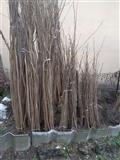 Sadnice lesnika - Italijanske sorte