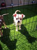 Prekrasan pedigre Chihuahuas