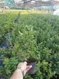 Sadnice borovnice –  Duke i Bluecrop sadnice