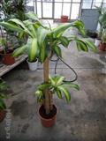 Sobne i kancelarijske biljke- Dracena