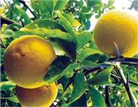 Sibirski limun sadnice do -30