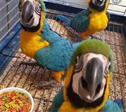 Our stunning baby macaw is now ready for its lovin