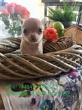 Super sladak chihuahua štenci