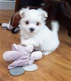 Malteški psi i štenci prodaju se