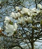 Sanice magnolije bele Cobus