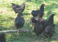 Jaja za nasad od crnog australorpa