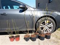 Americka borovnica sadnice sertifikovane sadnice