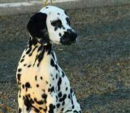 Dalmatinac štenci